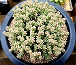 희성금 한몸군생-95|Crassula Rupestris variegata