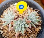 (일본)화이트그리니 6두자연군생 목대-31|Dudleya White gnoma(White greenii / White sprite)