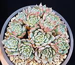 로이드 10-26|Echeveria minima hyb Roid