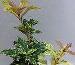 가시호랑이,호랑이가시(월동가능)1개당(추리나무)|