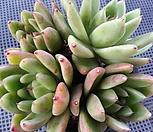 왁스(4두목은한몸대품) 9-410|Echeveria agavoides Wax