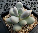 홍미인 9-634|Pachyphytum ovefeum cv. momobijin