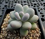 홍미인 9-636|Pachyphytum ovefeum cv. momobijin