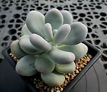 홍미인 9-637|Pachyphytum ovefeum cv. momobijin