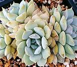 에케글로블로사|Echeveria globulosa