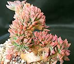홍일산철화|Echeveria bicolor