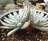 화이트그리니98|Dudleya White gnoma(White greenii / White sprite)