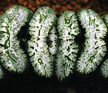 옥선 황기(荒磯) 소묘(Haworthia truncata cv. Araiso, offset)|Haworthia truncata