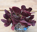 클라바타 화분포함|Pachyveria clavata