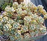 라울-묵은둥이, 대품|Sedum Clavatum