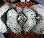 옥선 거봉 巨鳳|Haworthia truncata
