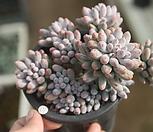베이비핑거9264|Pachyphytum Machucae (baby finger)