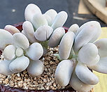 달마미인-자연군생|Pachyphytum oviferum