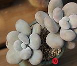 문스톤 092613|Pachyphytum Oviferum Moon Stone