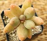 일본오비리데 0925-125|Pachyphytum Oviride