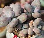 문스톤 092619|Pachyphytum Oviferum Moon Stone