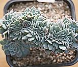 화이트턱시판철화9444|Echeveria tuxpan