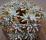 화이트그리니목대군생(40두쯤분지중) 926-2246|Dudleya White gnoma(White greenii / White sprite)