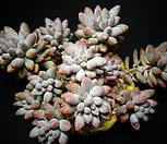 베이비핑거|Pachyphytum Machucae (baby finger)