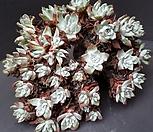 환엽블러쳐스왕대품 Dudleya farinosa Bluff Lettuce