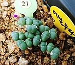 에불루타 코노피튬9287 Conophytum