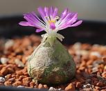 부르게리 Conophytum burgeri 대형 0945|Conophytum burgeri