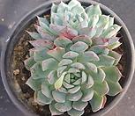 로이드2110|Echeveria minima hyb Roid