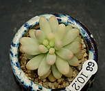 애심금(10.2)|Sedum pachyphyllum thin blue form