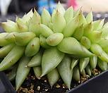 샤찌 철화_w49|Echeveria agavoides f.cristata Echeveria
