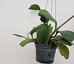 하트호야/중품/꽃피는호야//공룡꽃식물원공기정화식물공중식물관엽식물야생화다육이선인장다육식물화분|Hoya carnosa