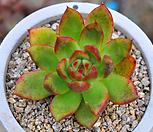 야생원종마리아(Q029) Echeveria agavoides Maria