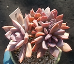 데비철화군생7|Graptoveria Debbie