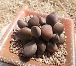 리틀 스페로이드 군생|Echeveria minima hyb Roid