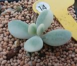 방울복랑금(컷팅)|Cotyledon orbiculata cv variegated