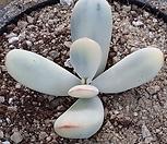 대형방울복랑금|Cotyledon orbiculata cv variegated