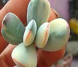 복륜방울복랑금-건강하고 이뻐요|Cotyledon orbiculata cv variegated