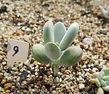 방울복랑금무지9(자구2개 모주이미지첨부)|Cotyledon orbiculata cv variegated