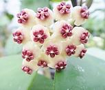 샴덩굴초 -하트호야 모주초코렛향기 대품|Hoya carnosa