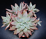 콜로라타브랜티hy자연군생26|Echeveria Colorata fma Brandtii