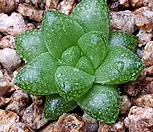 하월시아)허링기78|haworthia
