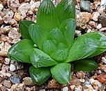 하월시아)화화금무지82|haworthia