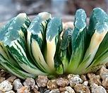 옥선호반금|Haworthia truncata variegated