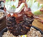 환엽블러쳐스뿌리무 Dudleya farinosa Bluff Lettuce