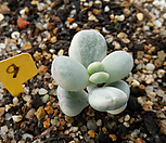 최상급 방울복랑금9(수박금)|Cotyledon orbiculata cv variegated