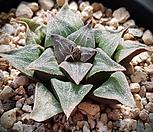 중)하월시아 116|haworthia