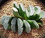 대)옥선 2두 하월시아 118|haworthia