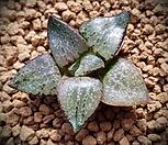 특)동산콤프토니아(Comptonia) 소묘 하월시아 134|haworthia