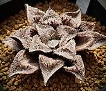 특)화미가리x대은성(花味ガニx大銀城) 중묘 하월시아 136|haworthia