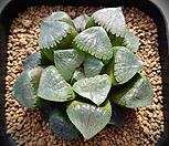 특)스프링복스실생대묘(springboks 實生) 하월시아 137|haworthia
