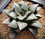 특)코렉타x그린우디자구2개 대묘 하월시아 139|haworthia